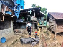 Native pigs freely roam in the village.