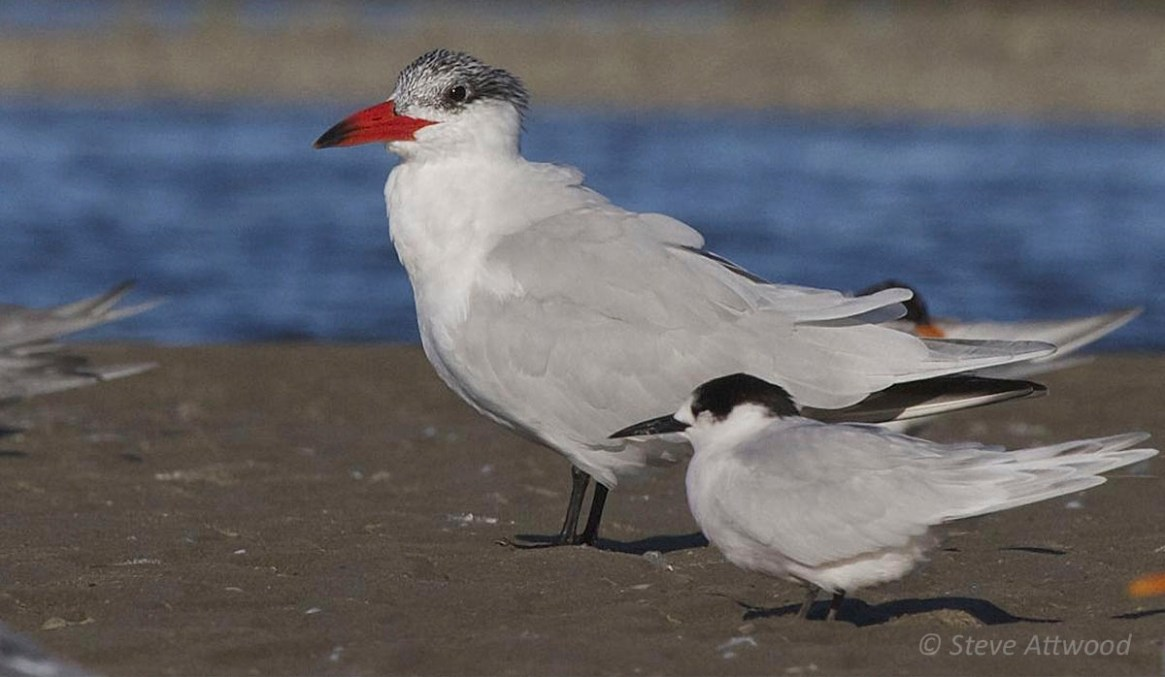 Caspian tern (non-breeding plumage) with white-fronted tern in the foreground
