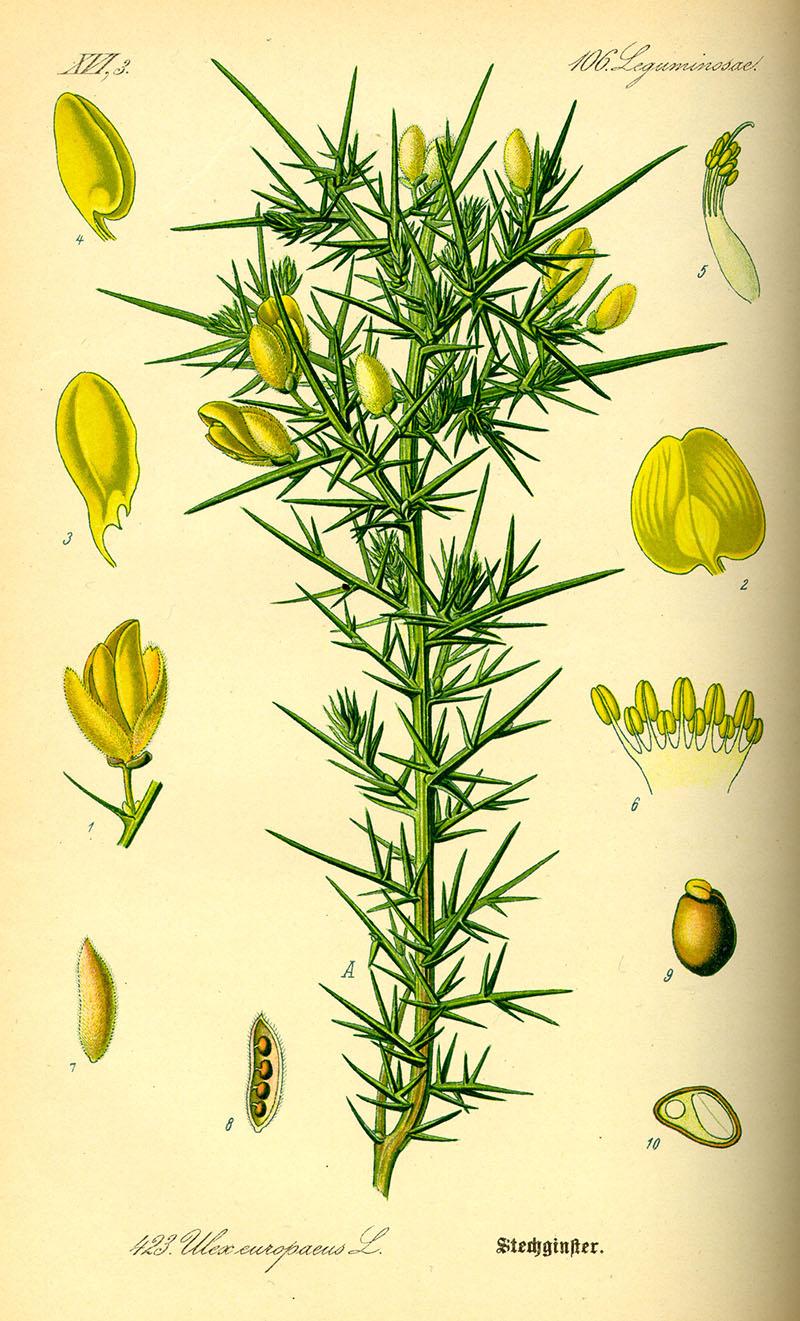 illustration of gorse from Otto Wilhelm Thomé's book: Flora von Deutschland, Österreich und der Schweiz: 1885