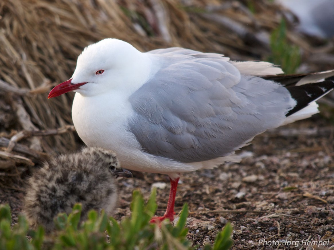 Red-billed gull with chick