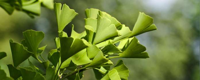 Ginkgo Biloba Review: Benefits, Dosage, Stacking and Side Effects