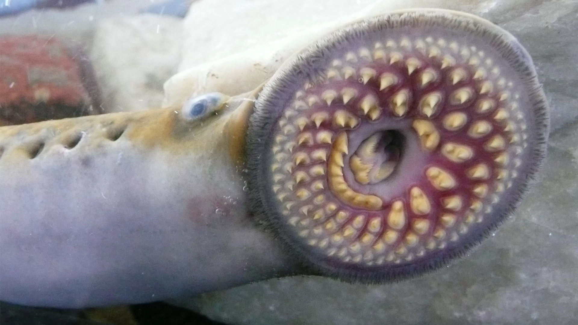 This Bloodsucking Fish Is The Vampire Of The Sea (But With