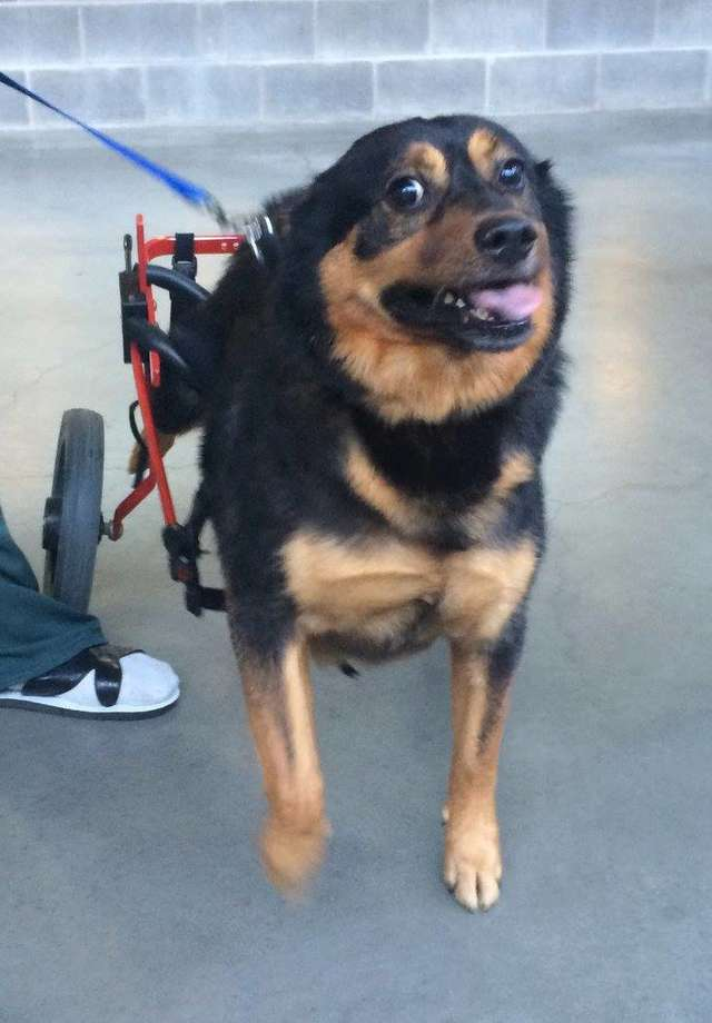 Dog In A Wheel Chair Returned Four Times By Four Different Families