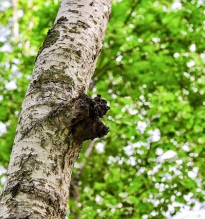 chaga mushroom on birch tree
