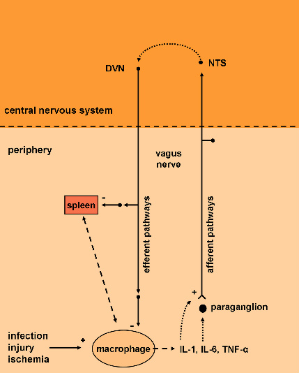 vagus nerve and immune system