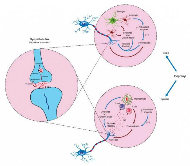 aging sympathetic nervous system