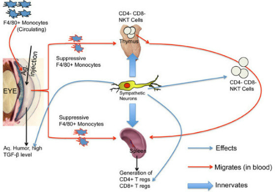 influence of the sympathetic T regulatory cells