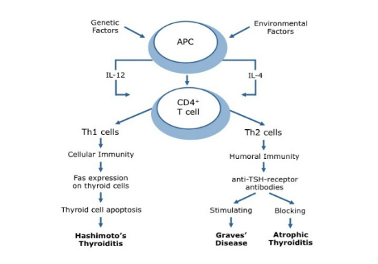 stress Th2 shift thyroid autoimmunity