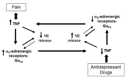 Disruption of TNF homeostasis elicits pain Figure 2