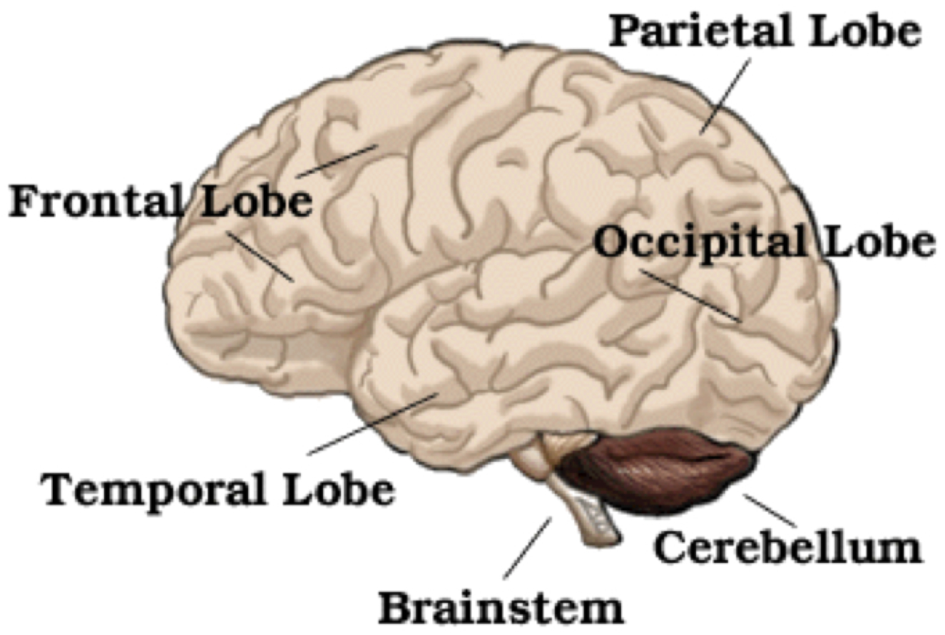 Understanding Normal Brain Anatomy Key To Learning About
