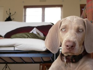 Can dogs see the colors - Weimaraner by Caninest