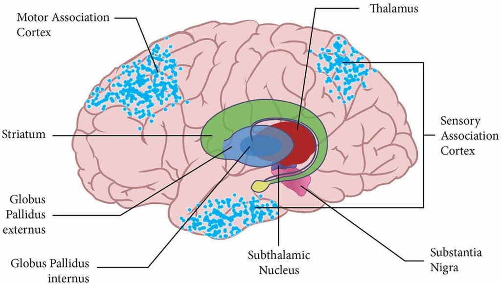 Thalamus Facts Position In Brain Summary Function
