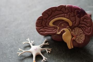 Human Brain Toy ©Robina Weermeijer (Unsplash)