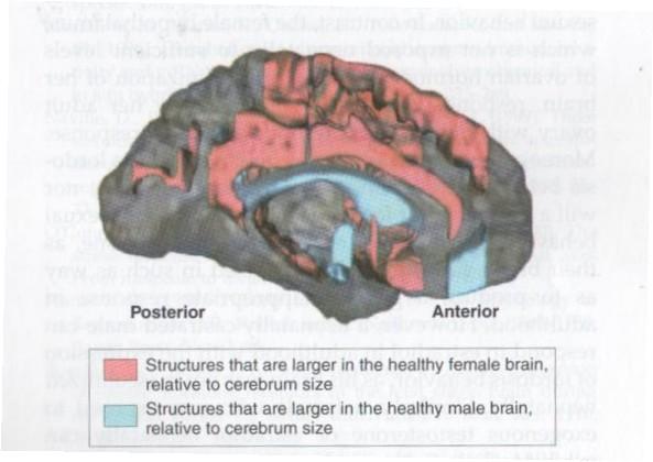 cerebro-genero