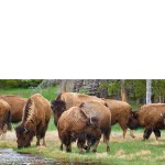 Wilde Bison of Yellowstone