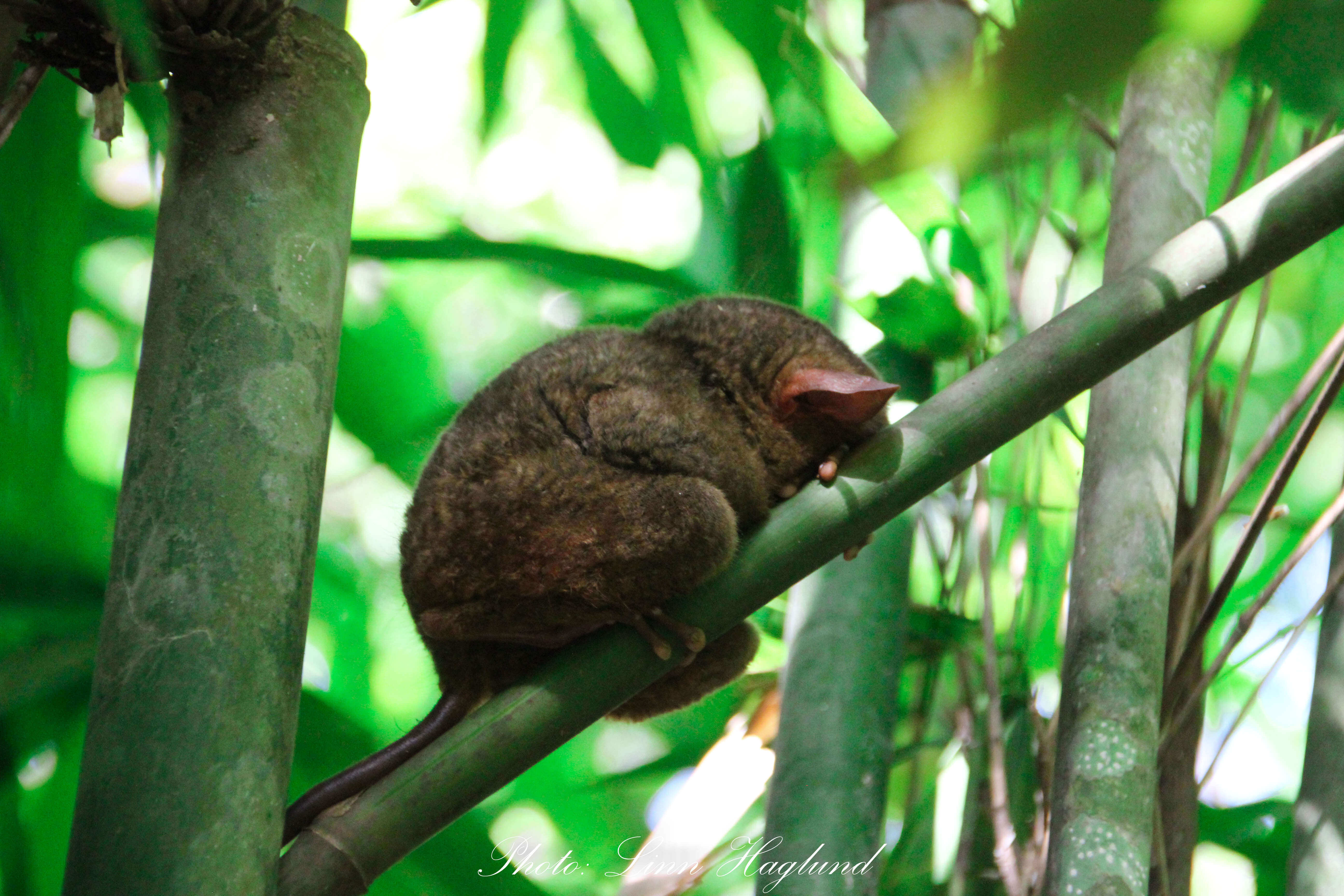 A sleeping tarsier