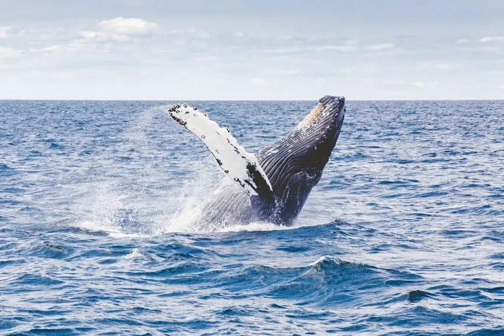 Humpback whale around Ile Sainte Marie in Madagascar
