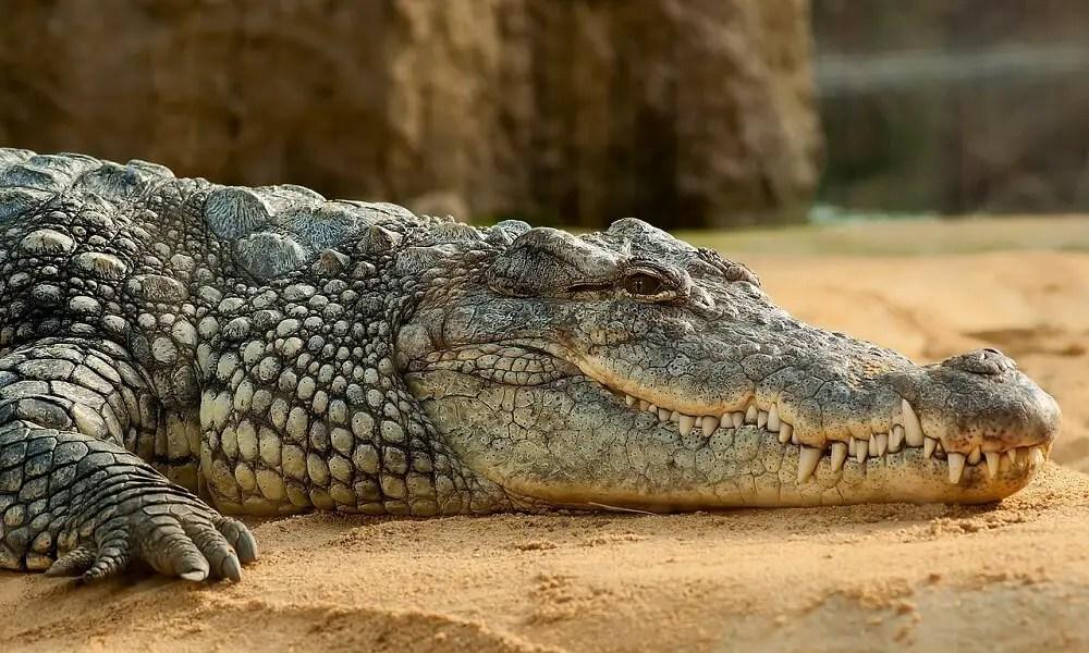 Nile crocodile - one of the scariest wildlife encounters in Madagascar