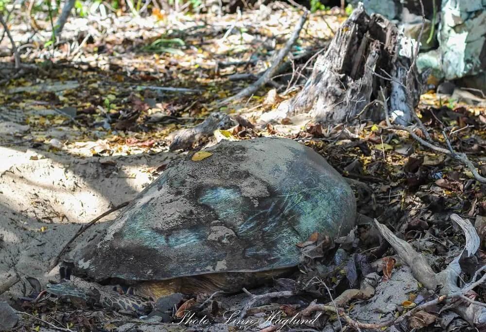 Turtle laying eggs on the beach of Ankazoberavina island