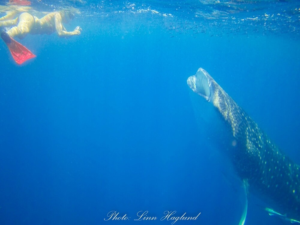 Swimming with whale sharks was one of the most amazing experiences I had in Madagascar