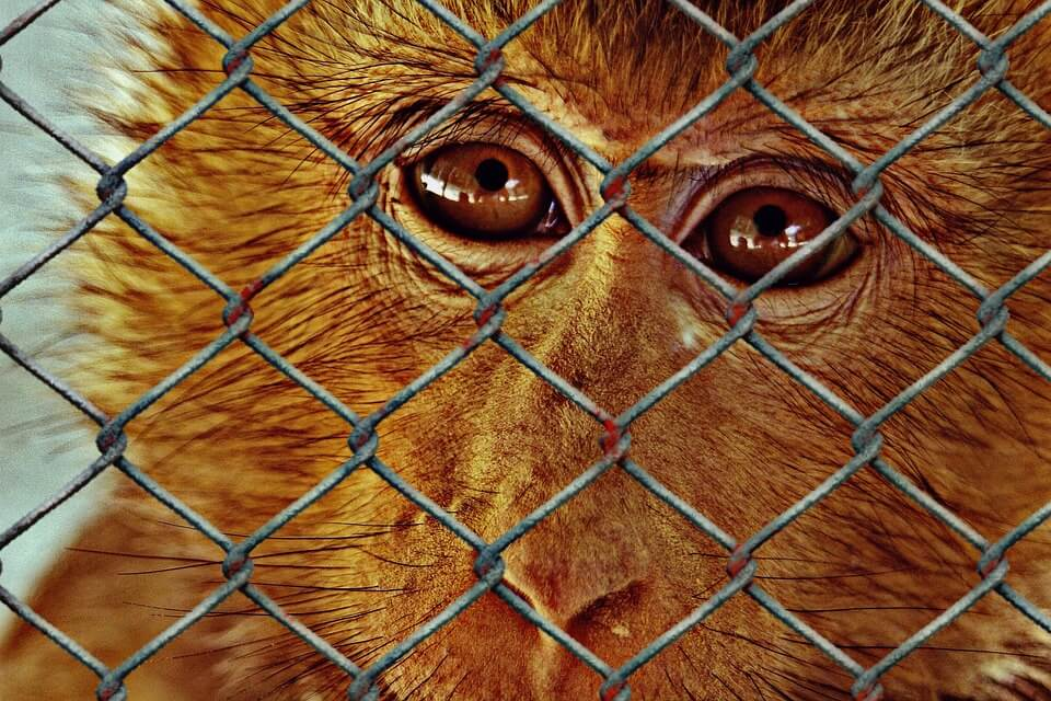 Monkey in a cage - animals should be free