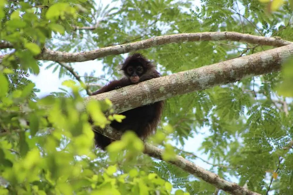 Wild monkey in the Nature Reserve for Monkeys at Punta Laguna