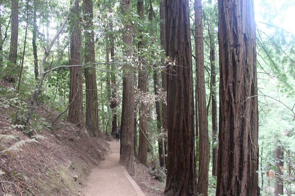 Muir wood has some of the most beautiful trails in northern California