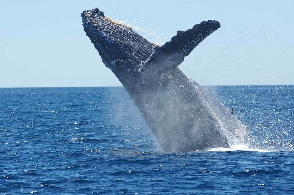 Saint Marie in Madagascar is one of the best places for whale watching in the world
