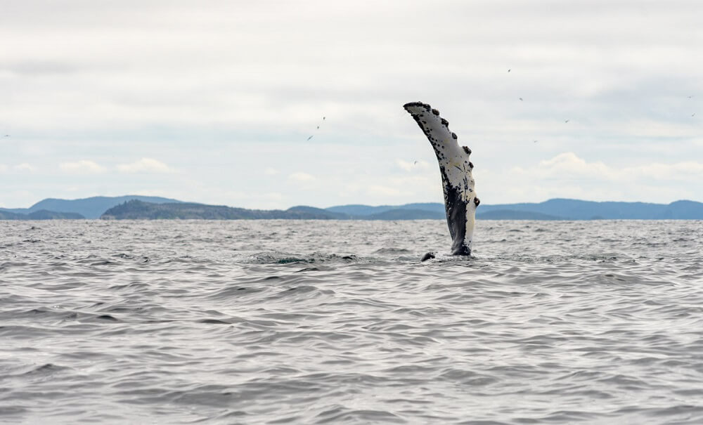 Newfoundland has some of the best whale watching in the world