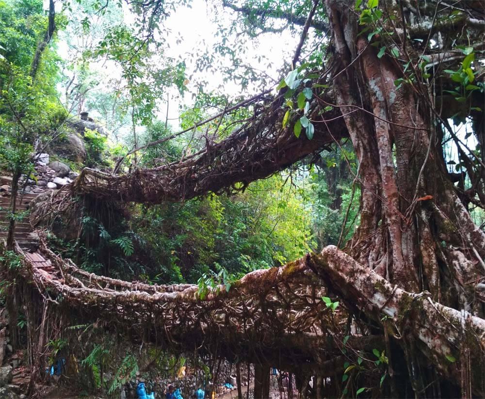 Living Root Bridge India