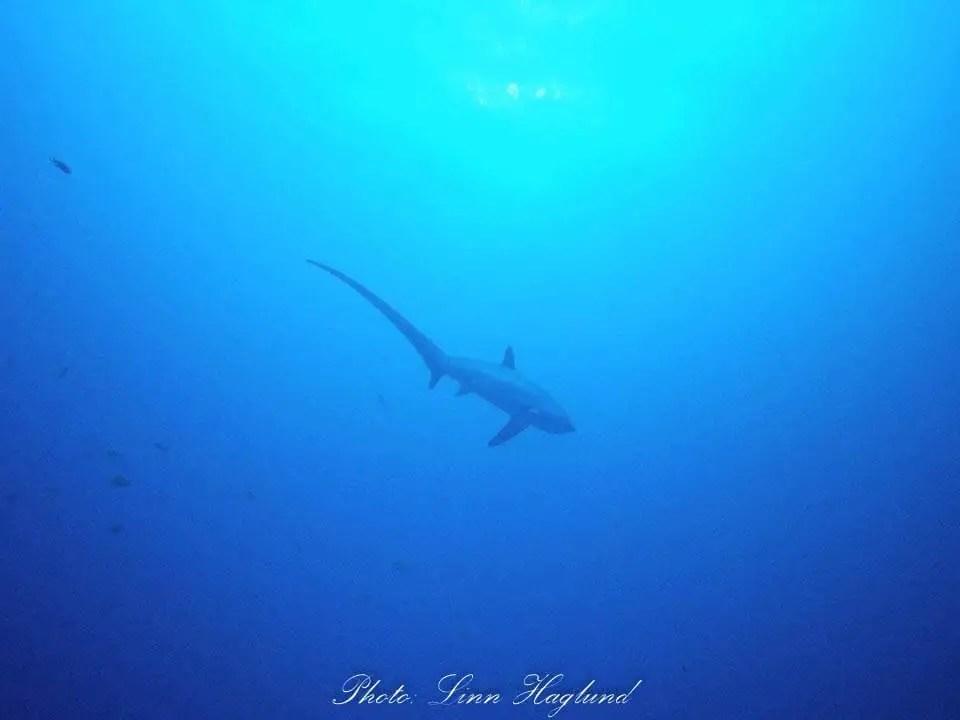 Thresher Shark in Monad Shoal