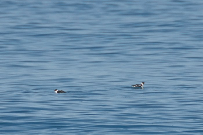 A pair of marbled murrelets in the Strait of Juan de Fuca
