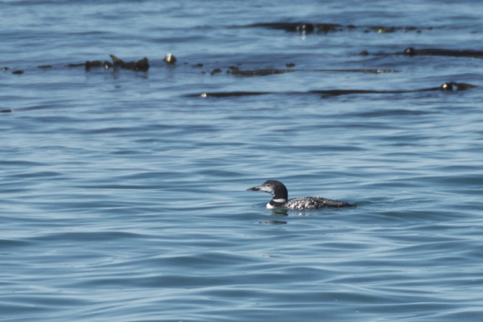 Common Loon on the Strait of Juan de Fuca