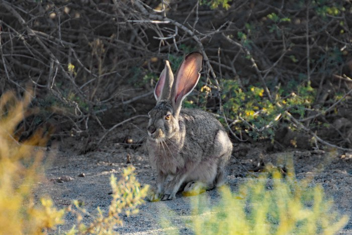 Jackrabbit sitting under some desert shrubs at Hole-in-the-Wall Campground