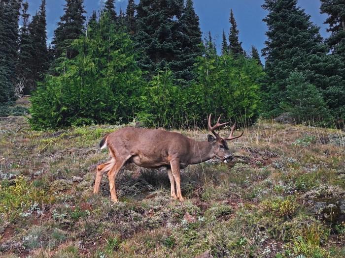 Black-tailed deer munching away on the slope leading up to Klahhane Ridge