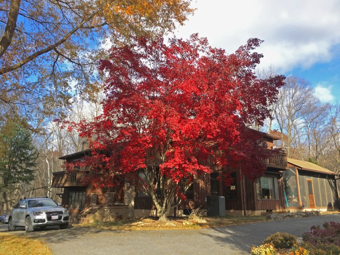 Christina's childhood home in a rural part of Maryland with a bright red Chinese maple out front