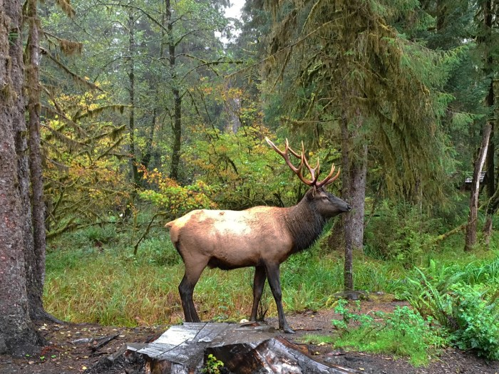 Single Roosevelt elk standing like a statue near the Hoh Rain Forest Visitor Center