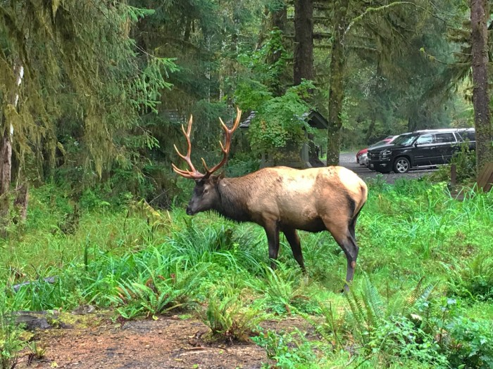 Roosevelt elk munching on some greens near the parking lot