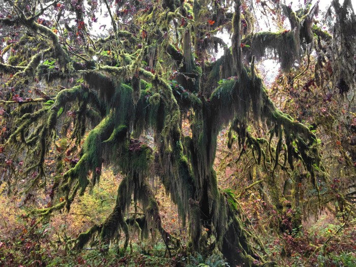 Maple tree covered in masses of moss, looking like a monster in the Hoh