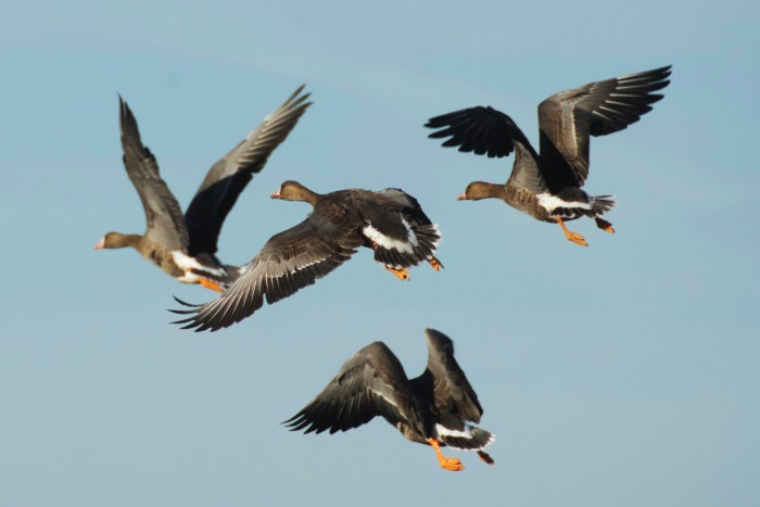 Four greater white-fronted geese in the air at the Sacramento NWR