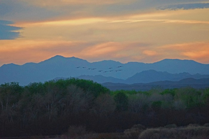 Line of sandhill cranes in the evening sky with blue and purple mountains in the background and the vegetation of the refuge in the foreground