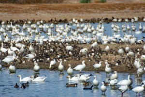 Snow geese, Ross's geese, American wigeons, and northern pintails on an island and in the water at the main wetland viewing area at Cibola