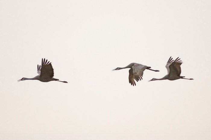 Three sandhill cranes flying at Cibola