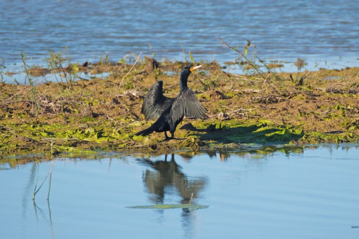 Double-crested cormorant sunning its wings by the water at Cibola