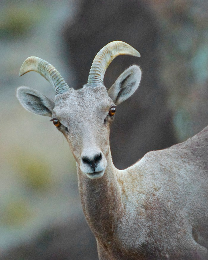 Headshot of a desert bighorn ewe