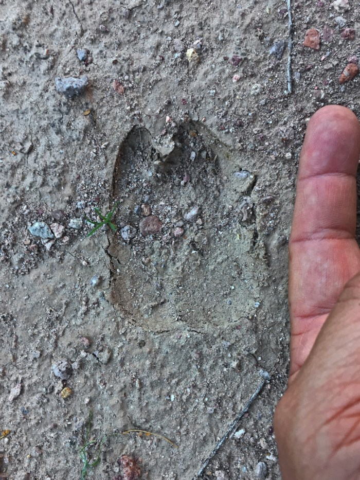 Bighorn sheep track in the dirt with Michael's finger adjacent for size