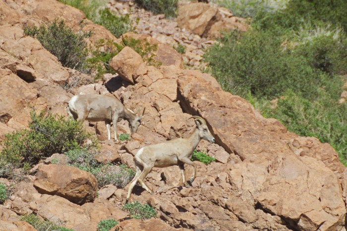 Two bighorn ewes, one eating and one walking