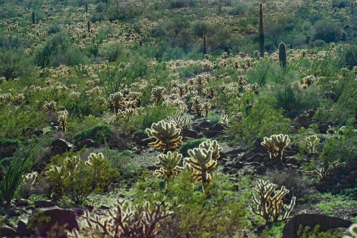 """View of a section of the desert at Kofa NWR with a dense stand of """"Teddy Bear"""" Cholla cacti"""