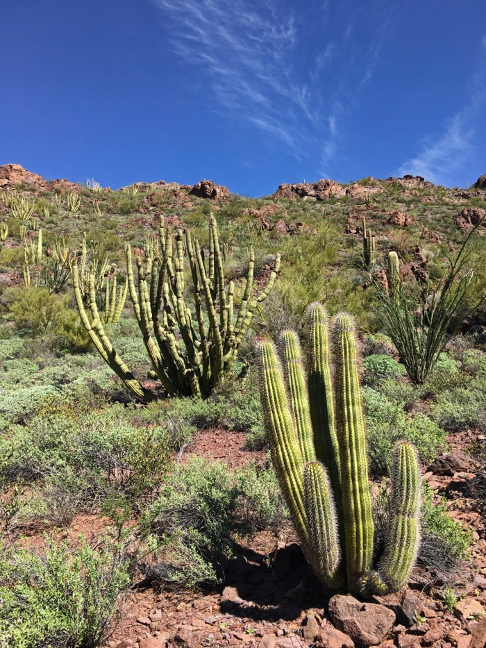 View of the desert vegetation with organ pipe cacti from the Bull Pasture Trail