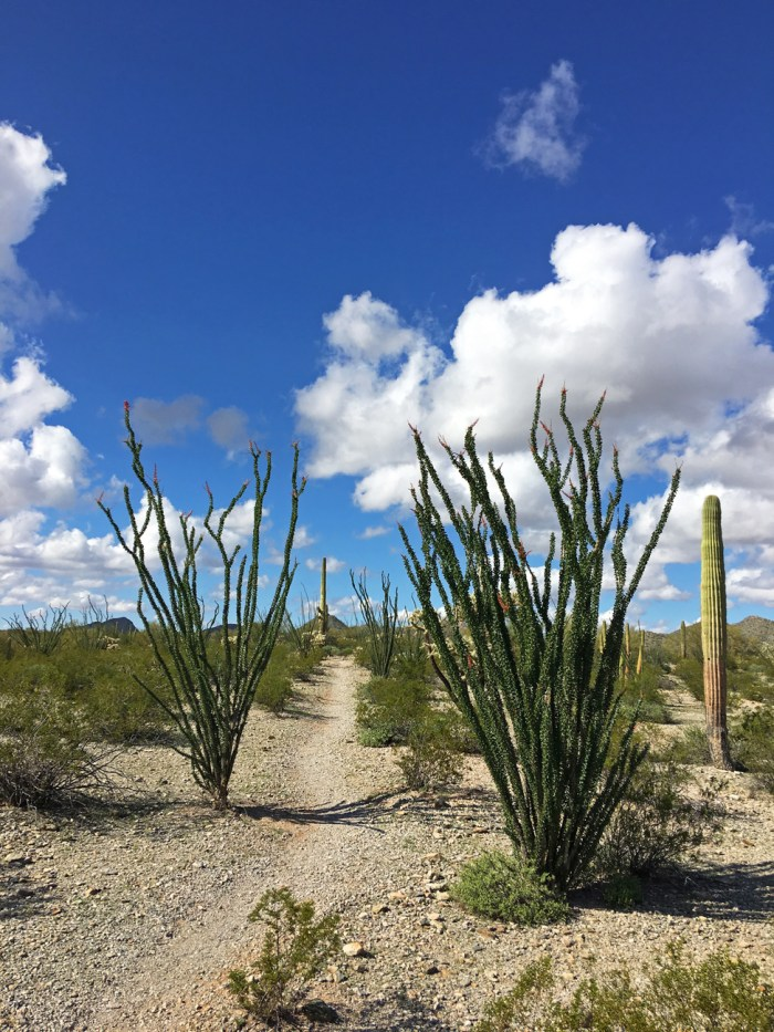 Victoria Mine Trail with tall ocotillo on either side of the trail reaching into the blue sky with puffy clouds